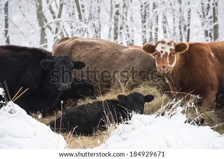 Winter Cows - stock photo