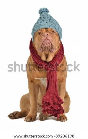 Winter dog with hat and scarf isolated - stock photo