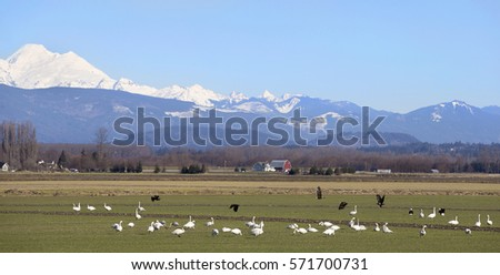 Winter feeding grounds for migrating birds in protected wildlife area, Skagit, Washington
