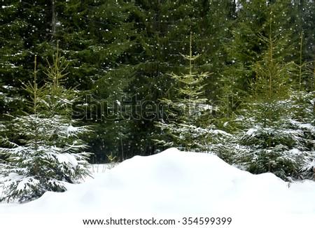 Winter fir forest during snowfall - stock photo