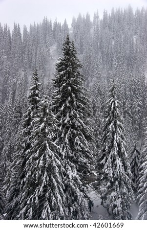 Winter fir forest on mountain slopes - stock photo