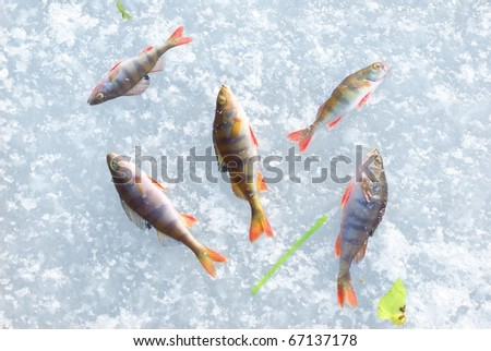 winter fishing catch on the ice - stock photo