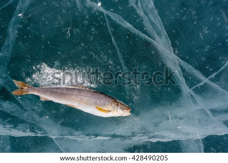 Winter fishing on Lake Baikal. Catching perch and grayling in the clean and beautiful place! The deepest freshwater lake on the planet. - stock photo