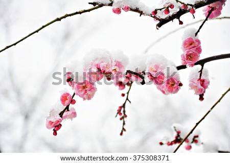 Winter flower, Pink Plum Flower under Snow with white background - stock photo