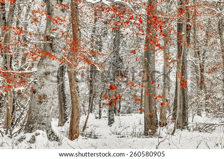 Winter Forest. Falling Snow through the January Woods after Sunset in the Black Forrest, Germany. - stock photo