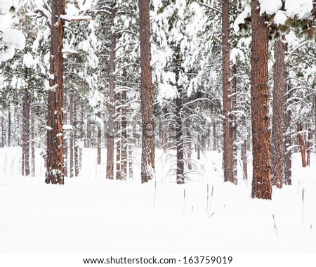 Winter Forest (Fresh Snow on Tall Ponderosa Pine Trees) - stock photo