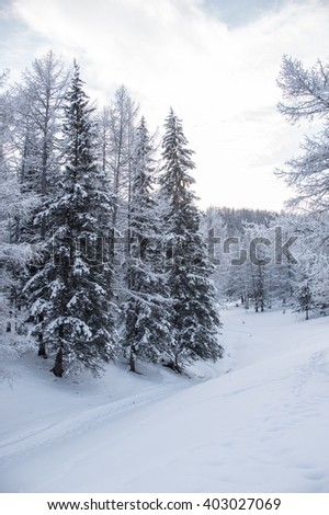 Winter forest in the Altai mountains. Twigs in hoarfrost, frozen river, snowy cliffs.