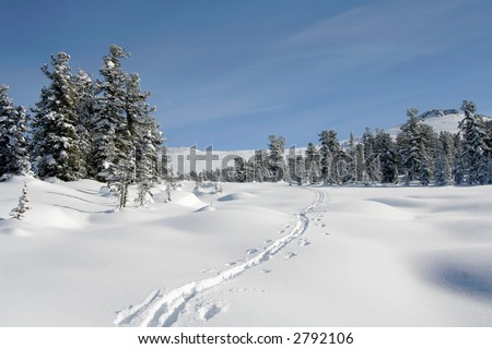 winter forest. snow ski-track. pine trees. snowdrifts