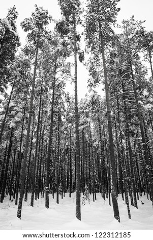 Winter forest with snow on trees (black and white image)