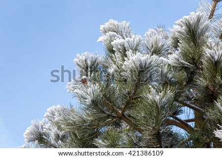 Winter frost on pine, Christmas tree - stock photo