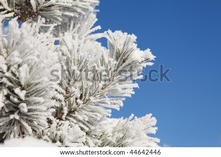 Winter frost on spruce tree full frame close-up
