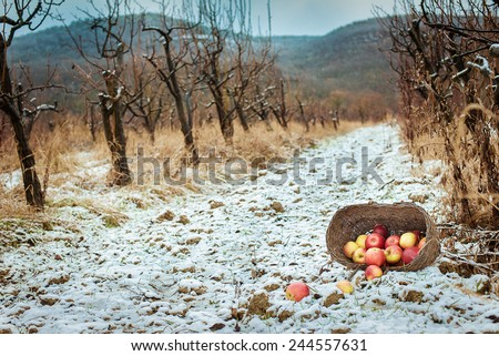 winter garden of apples. red apples in a basket in the garden - stock photo