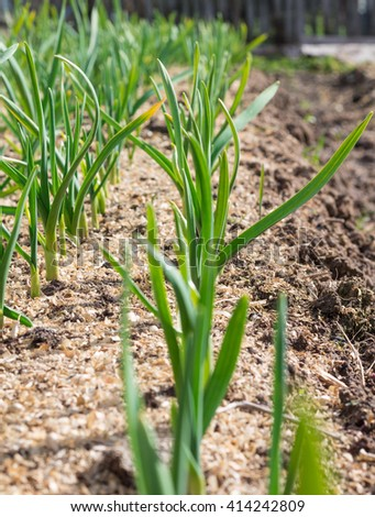 Winter garlic sprouts in early spring - stock photo