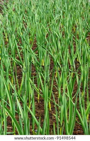 Winter garlic sprouts in early spring at the kitchen garden - stock photo
