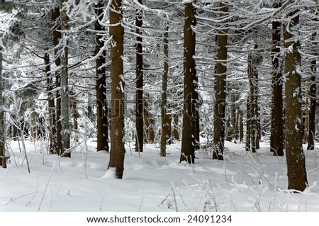 Winter gloomy dull day forest with rime and snow covered spruce trees - stock photo