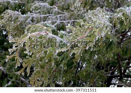 Winter ice storm covers arbrovitae everygreen weighing down the branches