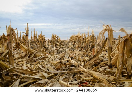 Winter is getting to the shredded corn stocks of Iowa. - stock photo