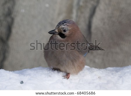 winter jay - stock photo