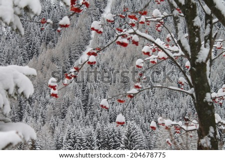 Winter landscape, detail of tree with red berries  - stock photo