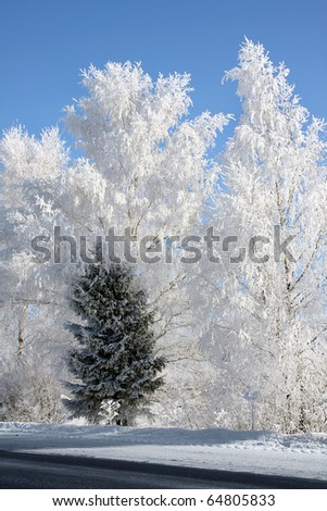 Winter landscape . Forest in hoarfrost . Birches and single fir tree - stock photo