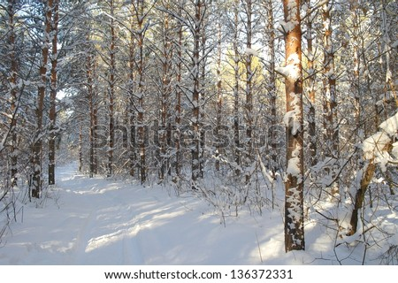 Winter landscape in forest with pines