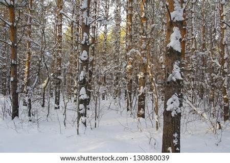 Winter landscape in forest with pines after snowfall, evening