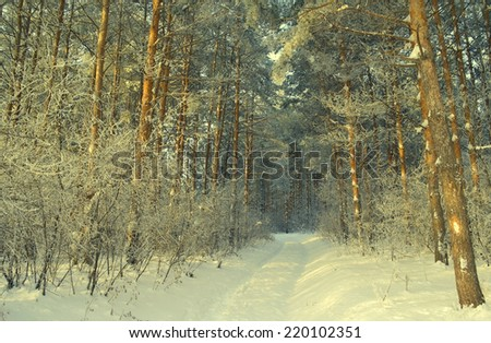 Winter landscape in forest with pines, evening - stock photo