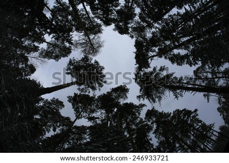 winter landscape isolated tree crown against the sky on a cloudy day, the view from the bottom up - stock photo