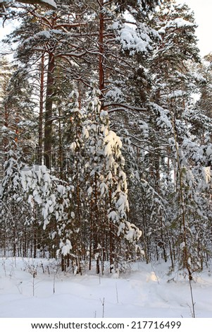 winter landscape of snow-covered pine forest in the early morning