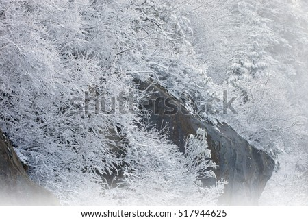 Winter landscape of snow flocked trees in fog on rock ledge at Clingman's Dome, Great Smoky Mountains National Park, North Carolina, USA