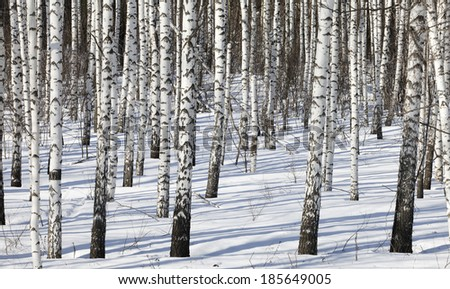 winter landscape slender trunks in a grove of white birches and shadows in the snow on a sunny day