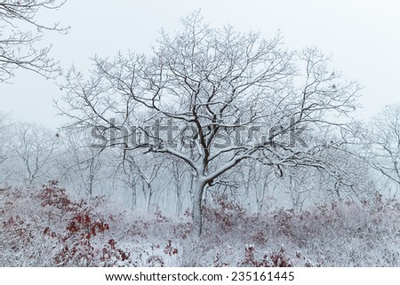 Winter landscape. Snowfall in the forest. Russia - stock photo