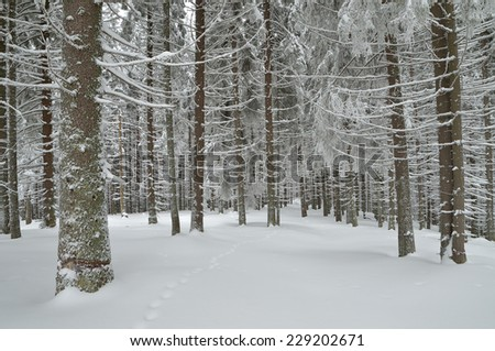 Winter landscape. Spruce forest in snow - stock photo