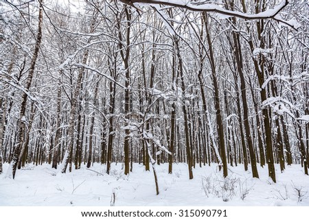 Winter landscape. Trees covered with snow.
