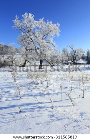 Winter landscape trees in frost in a snowy field in the early frosty morning - stock photo