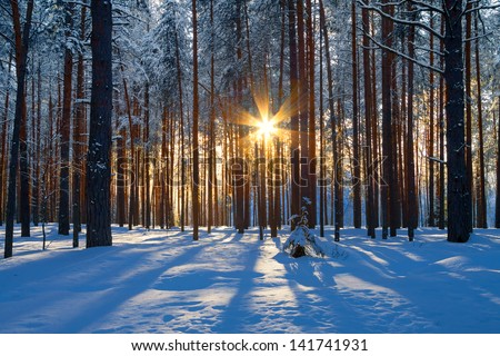 winter landscape with a coniferous forest in beams of the  sunset - stock photo