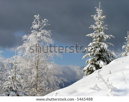 winter landscape with bright frosty birch and fir on a forefront and overcast threatening sky behind