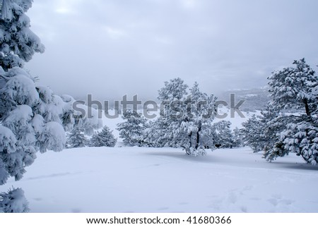 Winter landscape with pines after snowstorm
