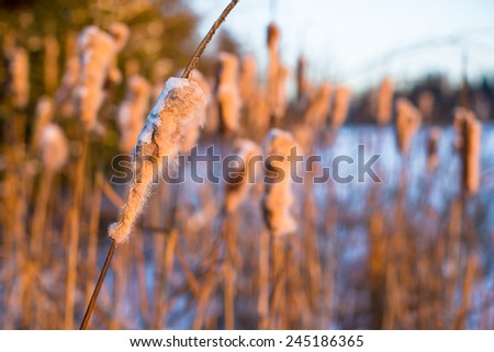 Winter landscape with snow-covered reeds - stock photo