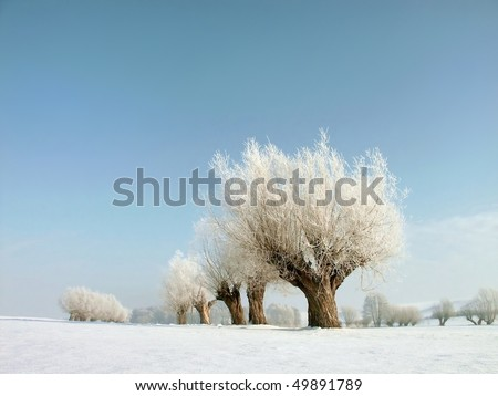 Winter landscape with white willows covered with frost near the village. - stock photo
