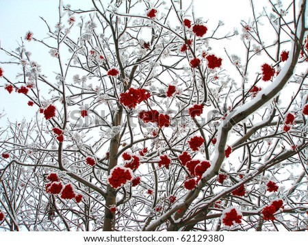 Winter mountain ash, crone - stock photo