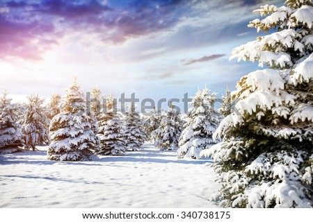 Winter mountain scenery of pine forest with lot of snow at purple sky  - stock photo