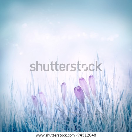 Winter or spring nature background with frozen grass and crocus flowers. Spring floral background - stock photo