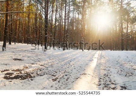 Winter park in snow.the road in the morning in the winter forest.the rays of the rising sun Shine through the branches of green pine trees.