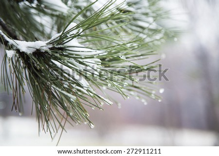 Winter pine branches. Branch with ice and snow,shallow depth of field - stock photo