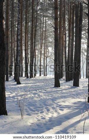 Winter Pine Forest with snow.