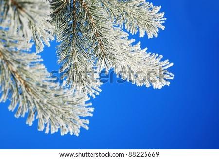 Winter pine on blue sky - stock photo