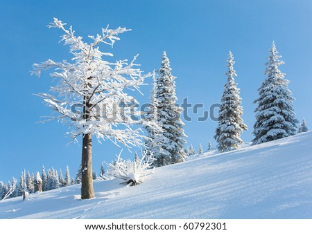 winter rime and snow covered fir trees on mountainside on blue sky background