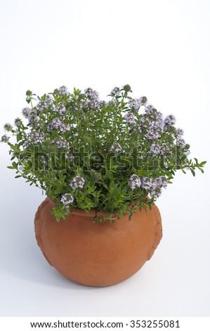 winter savory; Satureja; montana - stock photo