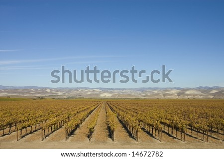 winter scene at a Vineyard in central California near Paso Robles with leaves yellowing and falling with the hills in the background and room for copy above in the sky - stock photo
